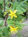 Hypericum grandifolium kz1.JPG