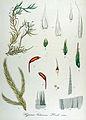 Hypnum lutescens — Flora Batava — Volume v14.jpg