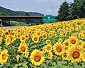 I-40W-Sunflowers.jpg