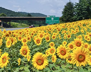 Interstate 40 in North Carolina - Sunflowers along I-40