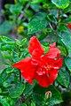 IMG 7799 ชบา (Hibiscus) Photographed by Peak Hora.jpg