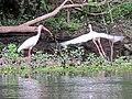 Ibis- Florida Caverns State Park - panoramio.jpg