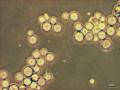 Ichthyophonus-hoferi-1.tif