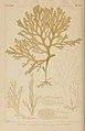 Icones of Japanese algae (Pl. CIX) (8006302486).jpg