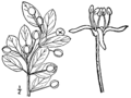 Ilex mucronata BB-1913-2.png