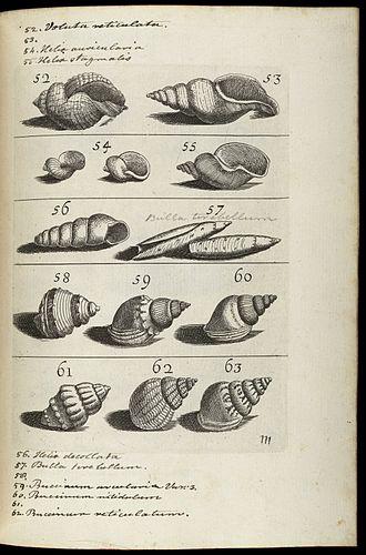 Filippo Bonanni -  Sea shells from Recreatione dell'occhio e della mente