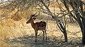 Impala (38216832172).jpg