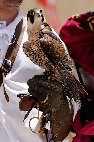 Tribute of the Maltese Falcon - Peregrine falcon in Malta