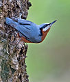 Indian nuthatch.jpg