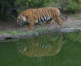 Indochinese Tiger.jpg