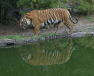 Indochinese tiger Subspecies of Mammal