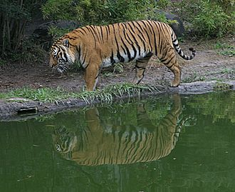 Wildlife of Laos - An Indochinese tiger.