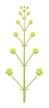 Inflorescence morphology raceme.png