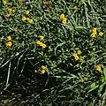 Inula spiraeifolia-Inule à feuilles de spirée-20160719 2.jpg