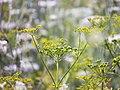 Invasive Wild Parsnip (35854249572).jpg