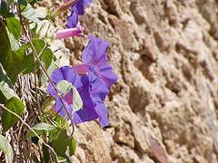 Ipomoea indica wall.jpg