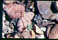 Ipomopsis polycladon- synonym Gilia polycladon plant in SW Idaho 4.jpg