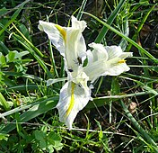 Iris001c.jpg