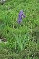 Iris illyrica o2.JPG