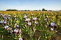 Irises (27068004841).jpg