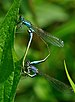 Ischnura elegans qtl5.jpg