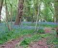 It's Bluebell Time - geograph.org.uk - 1282523.jpg