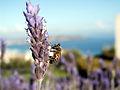 J Pod - Killer Bee (by-sa).jpg