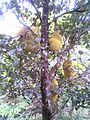 Jack fruit on tree.jpg