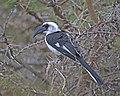 Jackson's Hornbill (Tockus jacksoni) female (20557964043).jpg