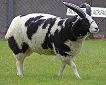 a piebald sheep with four horns