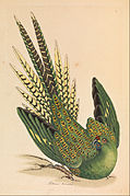 James Sowerby - Ground Parrot, Psittacus terrestris - Google Art Project.jpg