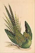 James Sowerby - Ground Parrot, Psittacus terrestris - Google Art Project.jpg
