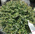 Japanese Holly hedge plants growing in New Jersey in April.jpg