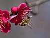 Japanese Honeybee Pollinating Japanese Apricot Blossoms (247564891).jpeg