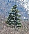 Japanese White Pine Pinus parviflora Miyagi Prefecture (crop).jpg