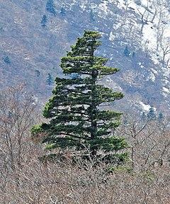 240px japanese white pine pinus parviflora miyagi prefecture (crop)