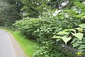 Japanese knotweed (PL) (31881337434).jpg