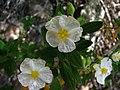 Jara (Cistus monspeliensis) - panoramio.jpg