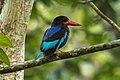 Javan Kingfisher - Meru Bethiri NP MG 6571 (29543573702).jpg