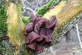 Jew's Ear fungus - geograph.org.uk - 727132.jpg