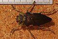 Jewel Beetle (Polybothris expansicollis) (8232029485).jpg