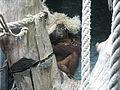 Jielbeaumadier orang-outan de borneo 3 mjp paris 2014.jpeg