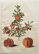 Johannes Simon Holtzbecher - Punica granatum simp et pl - Google Art Project.jpg