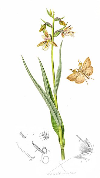 British Entomology - Proof impression: Plate 527. The Marsh Fan-foot Pyralis cribralis  with Marsh Helleborine Epipactis palustris.