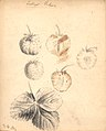 Jordbær -Trollops Victoria (9244514429).jpg