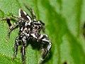Jumping Spider (Hyllus argyrotoxus) male (12089645626).jpg
