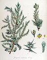 Juniperus communis — Flora Batava — Volume v14.jpg