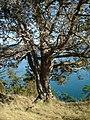 Juniperus maritima Anacortes3.jpg