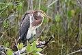 Juvenile Tri-colored Heron.jpg