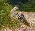 Kızılırmak toothcarp (Aphanius danfordii).jpg